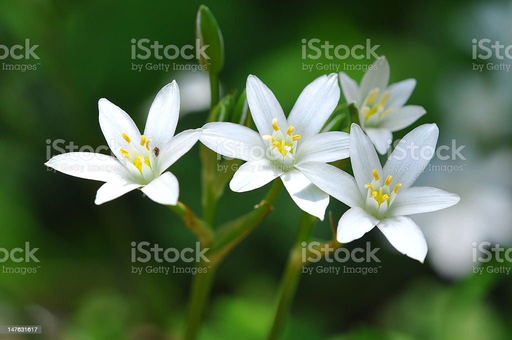Four starts of Bethlehem bloom in the forest stock photo