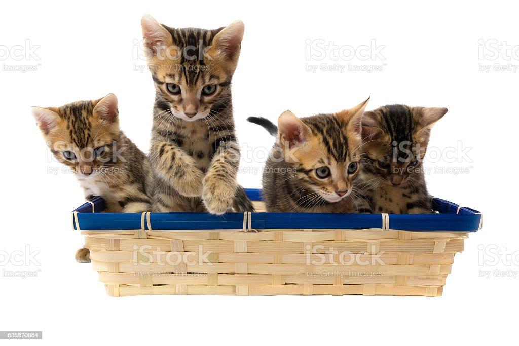 Four striped kitten sitting in a basket stock photo