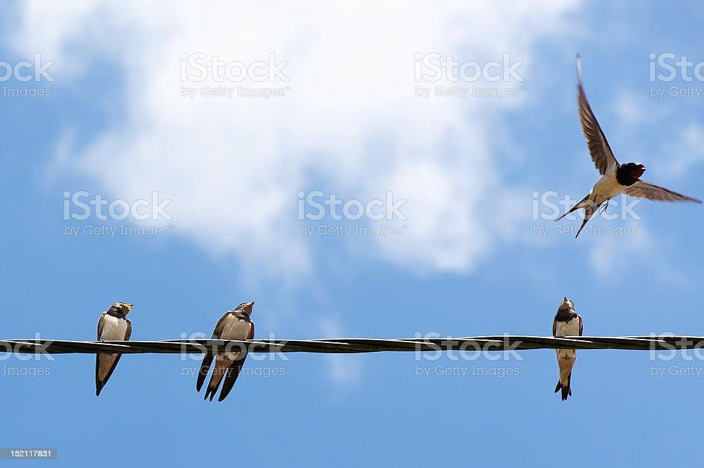 Four swallows stock photo