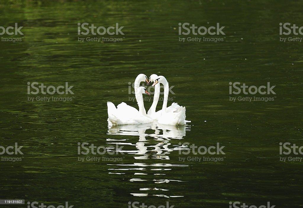 Four swans swimming stock photo