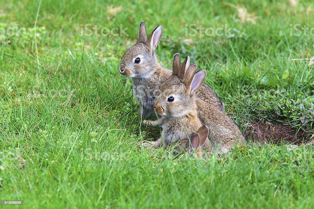 Four tentative young rabbits sneak out to enjoy the day  stock photo