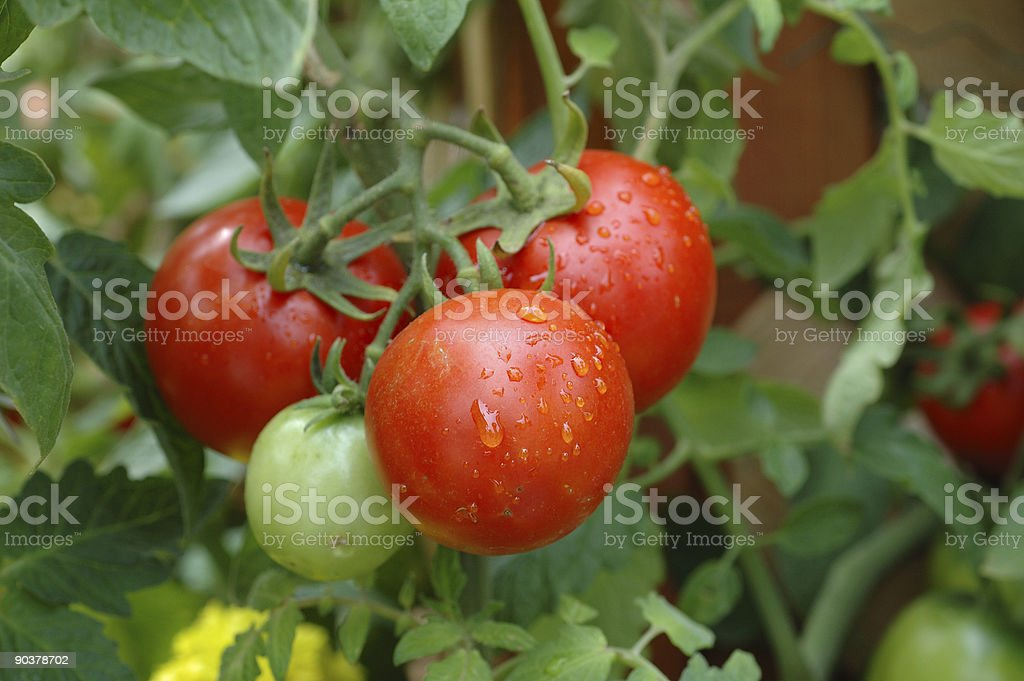 Four tomatoes growing 3 ripe tomatoes and 1 I ripe royalty-free stock photo
