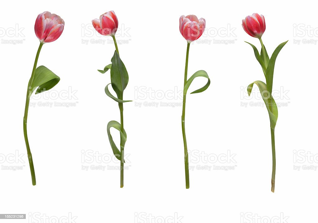 Four tulips in a row stock photo