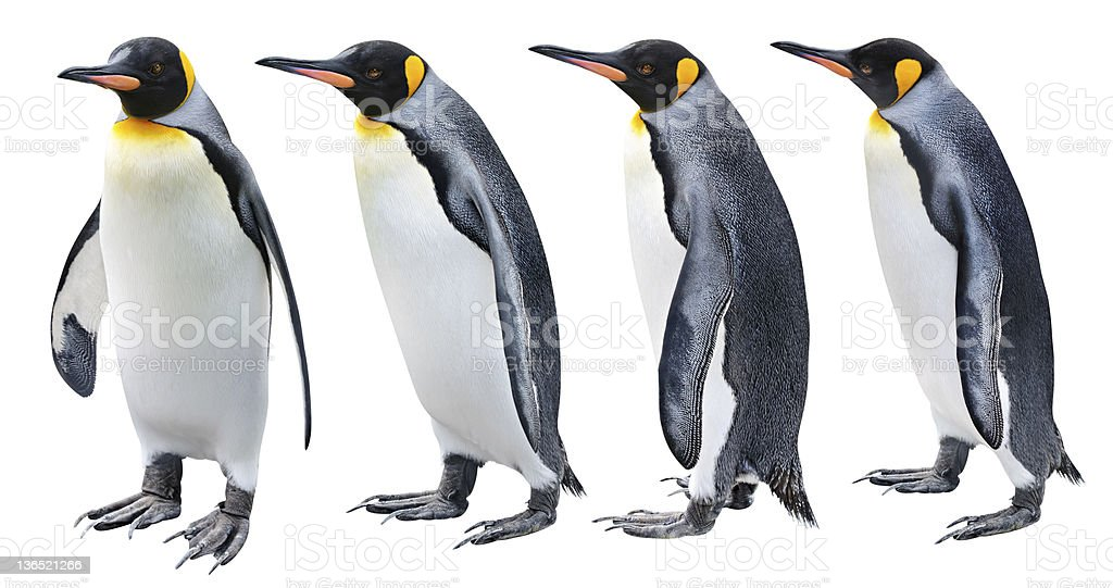 Four views of the King penguin stock photo