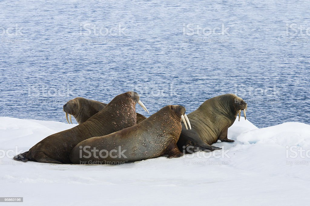 Four Walrus Lying on the Snow stock photo