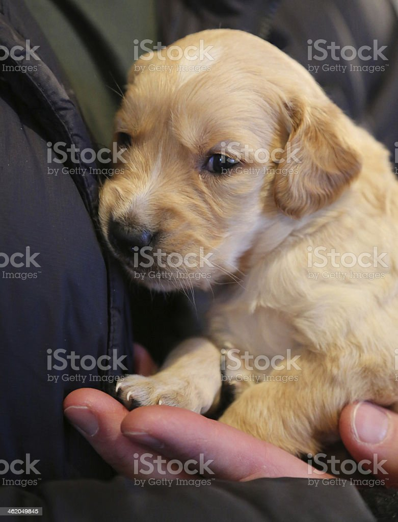 Four week old Golden Retriever puppy royalty-free stock photo