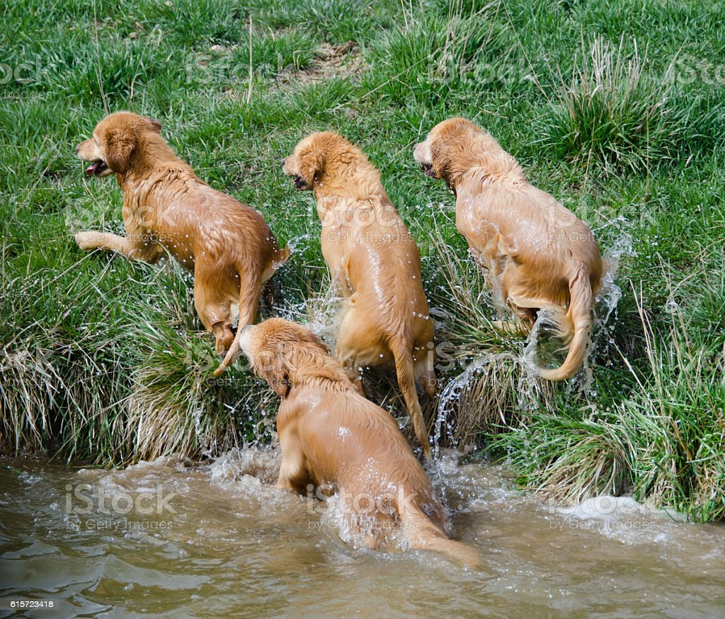 Four Wet Golden Retrievers stock photo