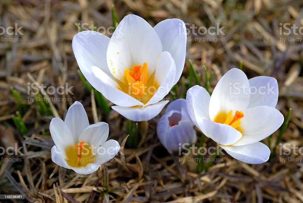 Four white crocuses royalty-free stock photo