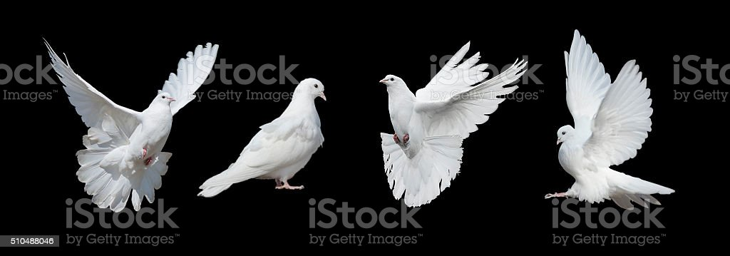 Four white doves stock photo