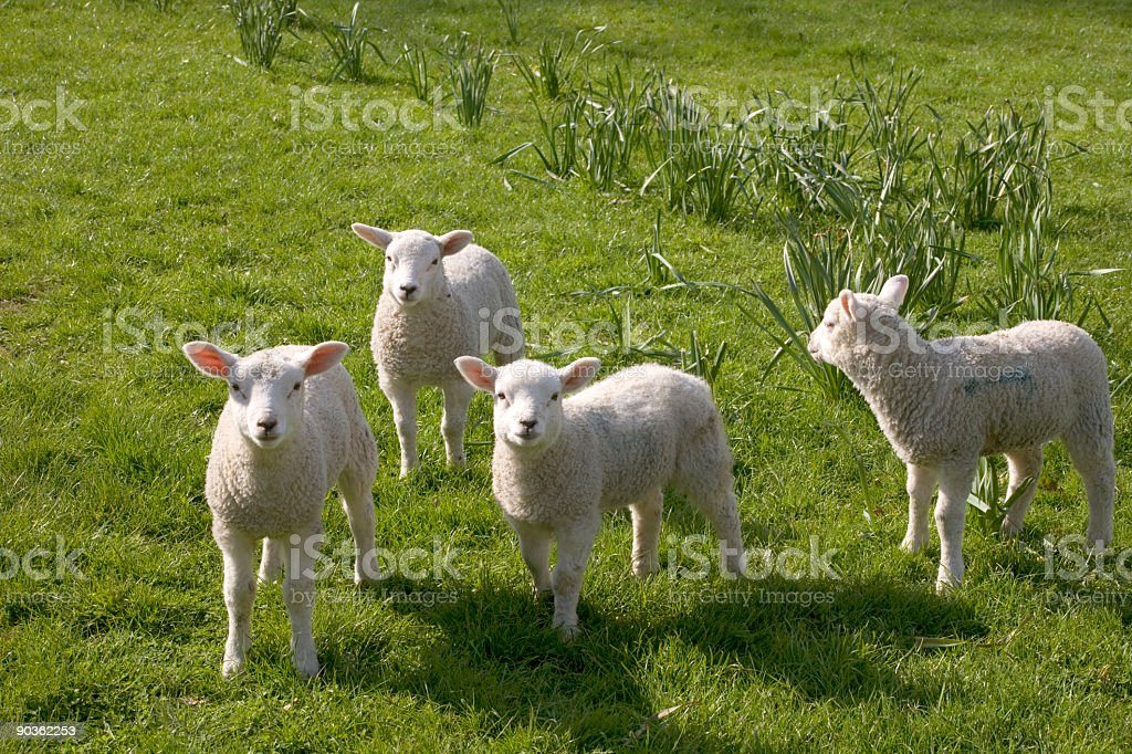 Four white lambs standing in a field on a sunny day royalty-free stock photo