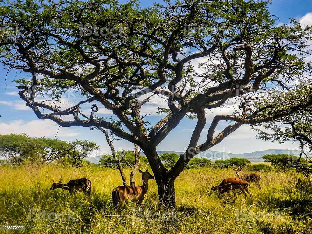 Four Wild African Antelope Deer under Tree in South Africa stock photo