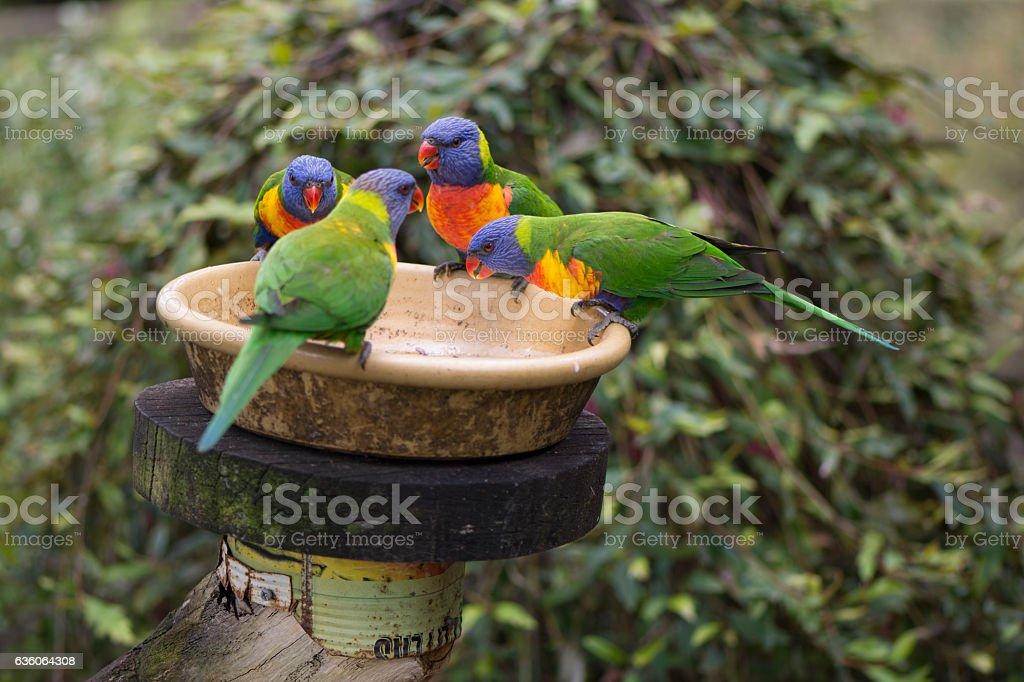 Four Wild Rainbow Lorikeets (Trichoglossus moluccanus) at Feeder stock photo