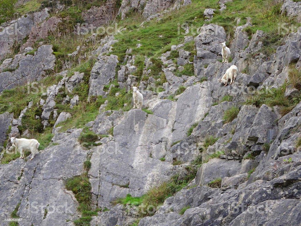Four wild, white mountain goats climbing on steep rocks, cliff-face stock photo