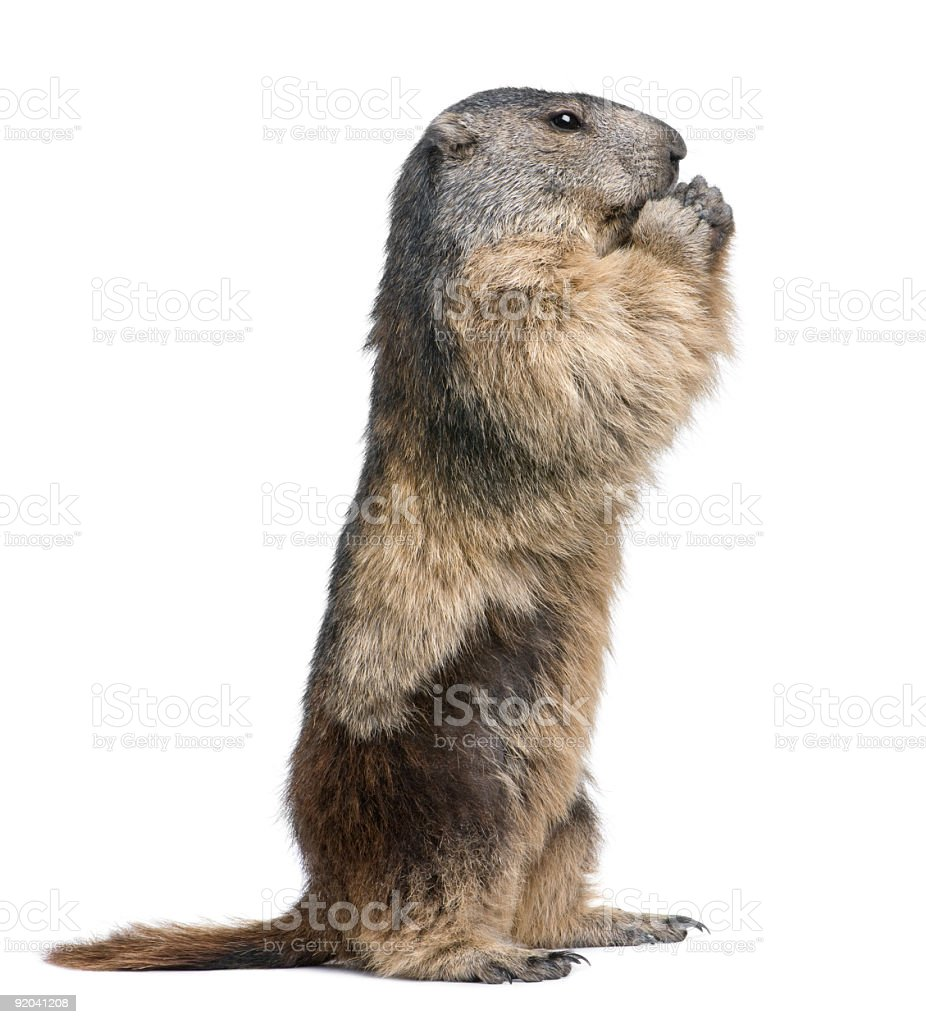 Four year old alpine marmot standing on its hind legs stock photo