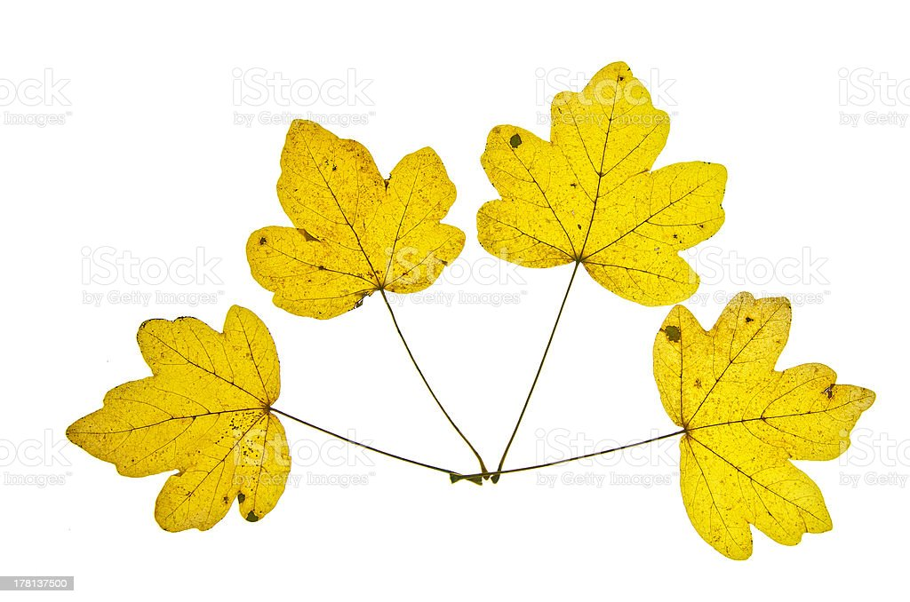 Four Yellow Glooming Maple Leaves Fan royalty-free stock photo