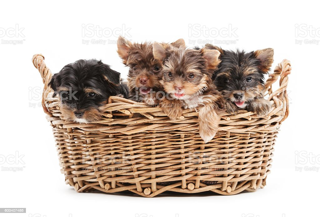 Four yorkshire terrier puppies in a basket stock photo