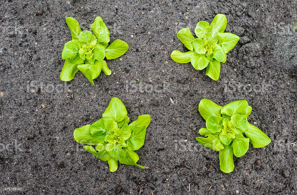 Four young Butterhead lettuce plants from above stock photo