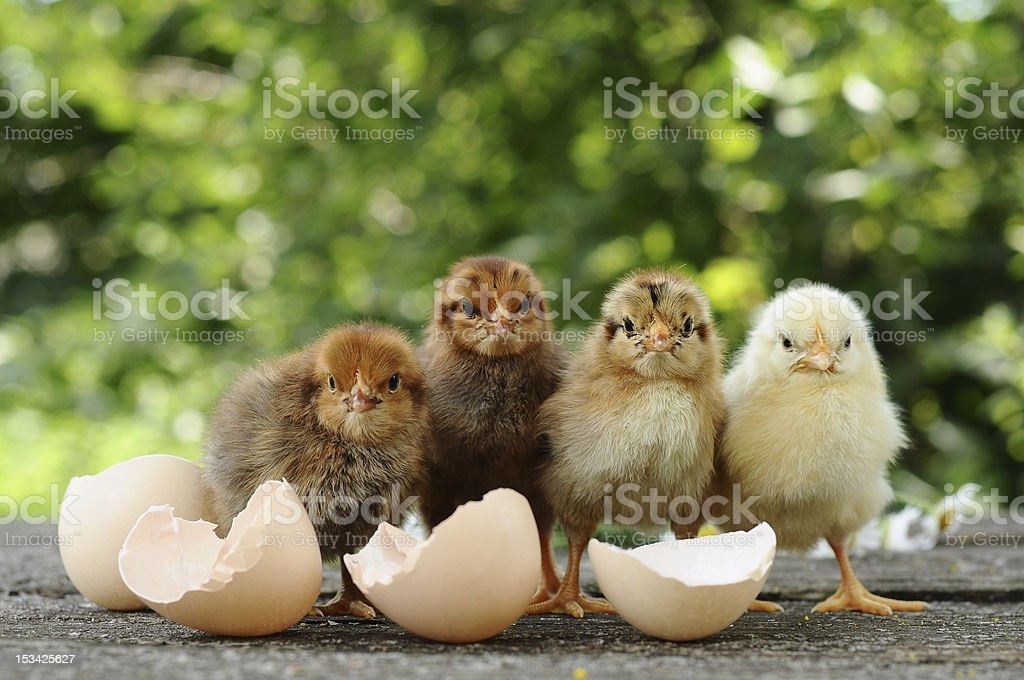 Four young chicks standing by empty eggshells stock photo