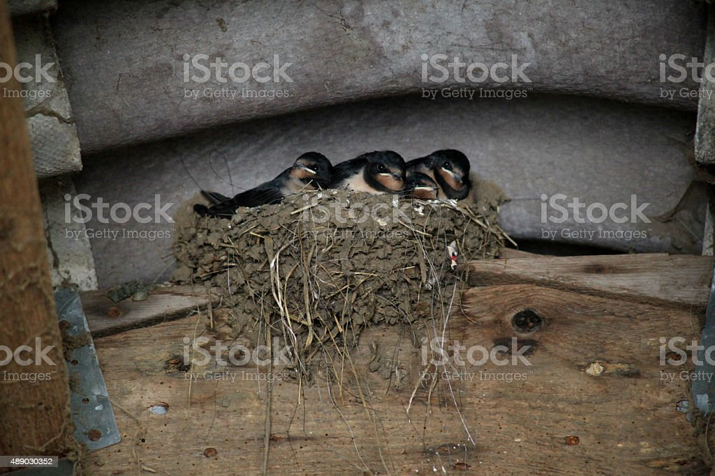 Four young swallows in a nest stock photo