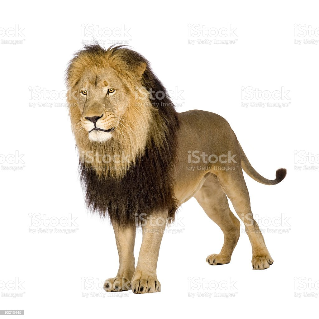 Four-and-a-half year old lion with yellow and brown mane royalty-free stock photo