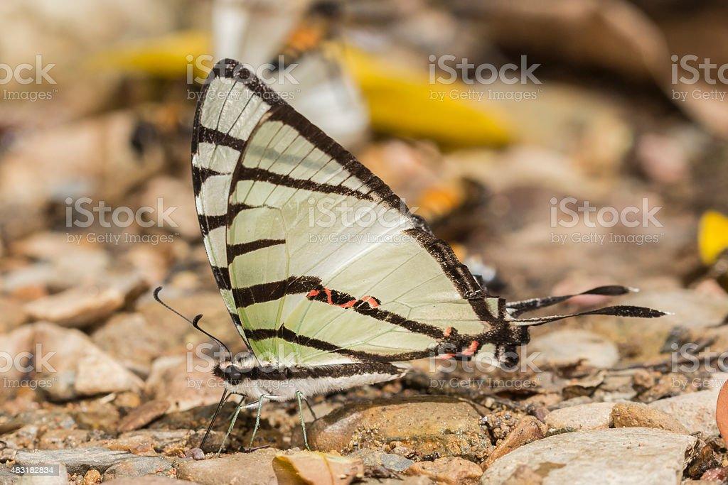Fourbar Swordtail Butterfly stock photo
