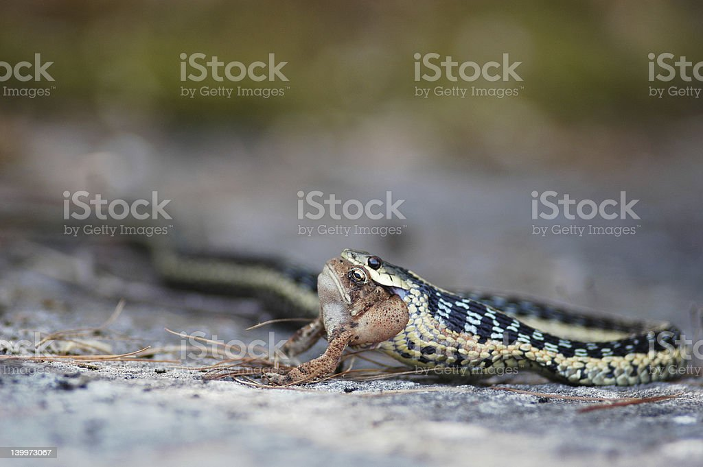 Four-eyed Snake stock photo