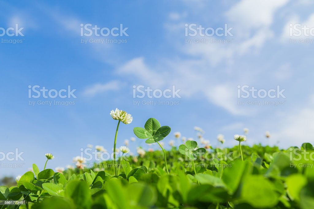Four-leaf clover and blue sky stock photo