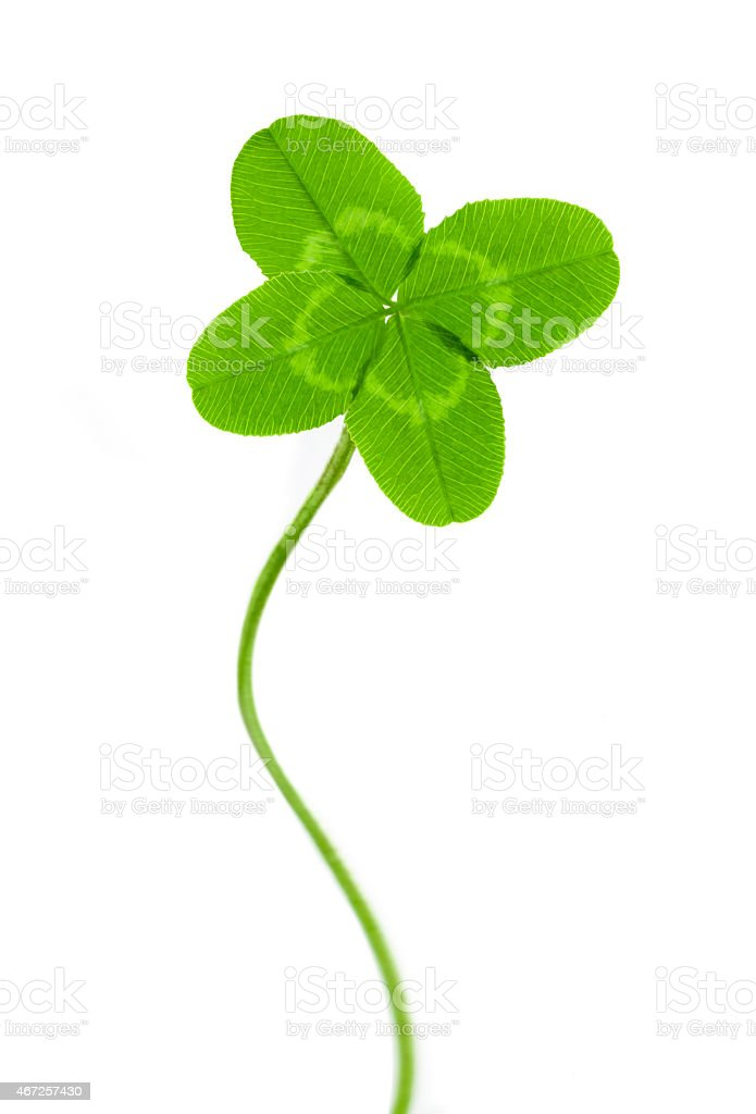 four-leaf clover for good luck stock photo