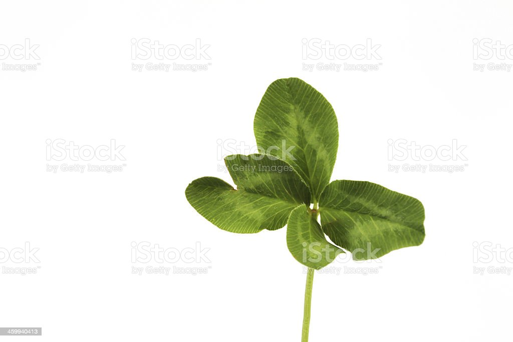 Four-leaf clover on white background royalty-free stock photo