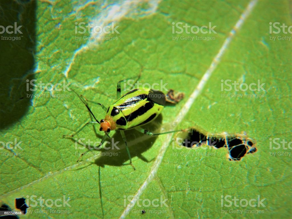 Four-Lined Plant Bug stock photo