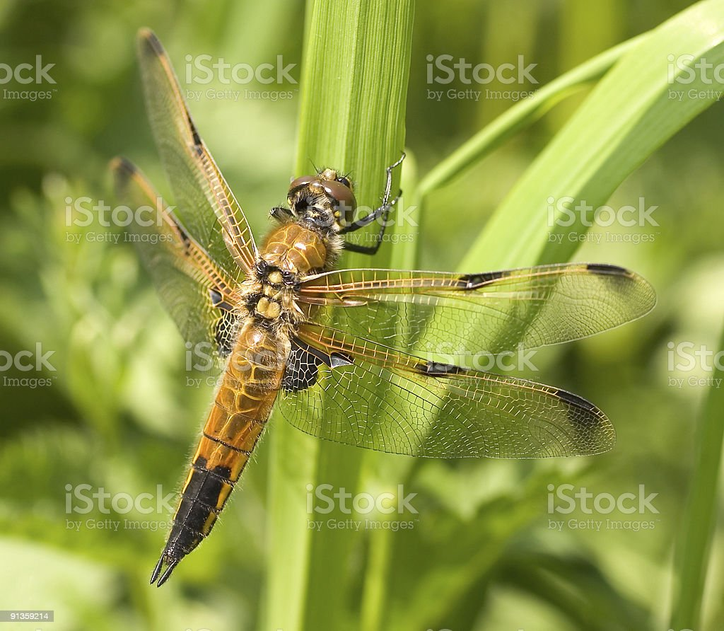 Four-spotted chaser dragonfly Libellula quadrimaculata royalty-free stock photo