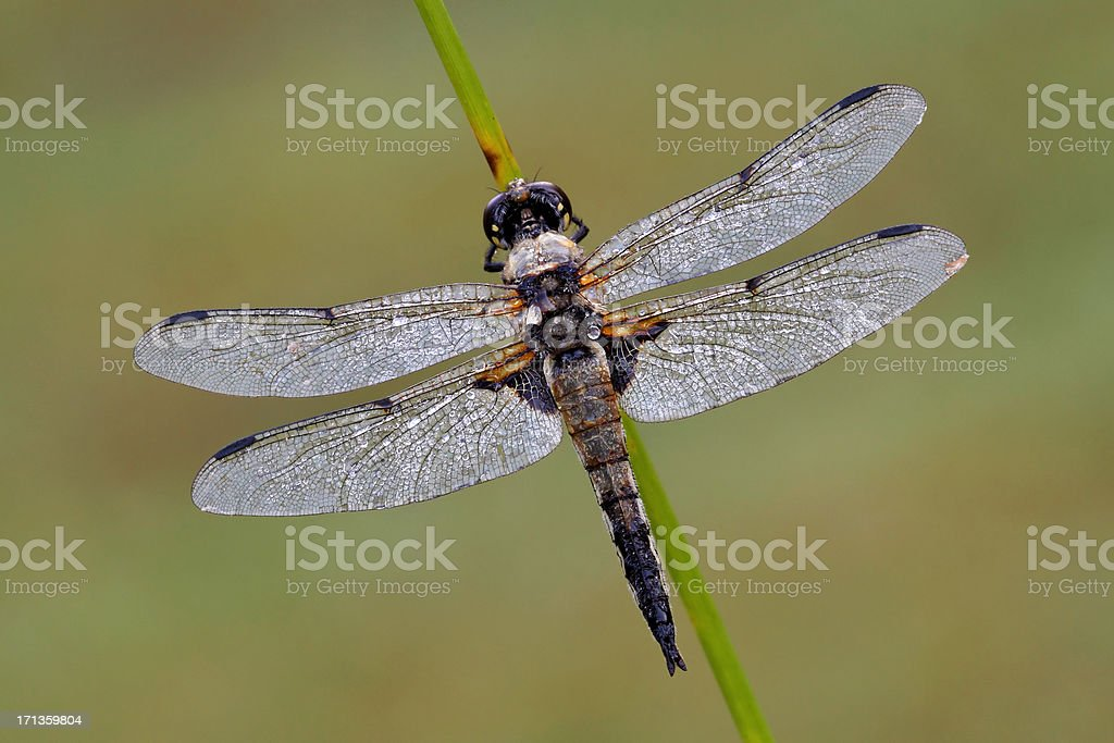 Four-spotted Chaser (Libellula quadrimaculata) stock photo