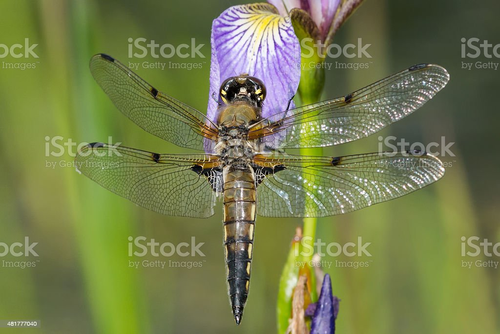 Four-spotted Skimmer Dragonfly stock photo