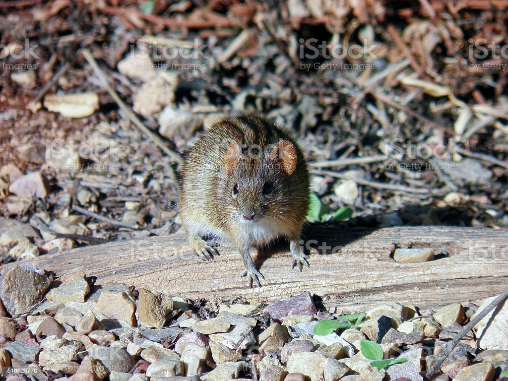 Four-striped mouse in Addo National Park, Republic of South Afri stock photo
