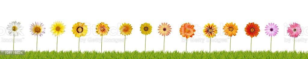 Fourteen daisies on grass XXXL+ stock photo