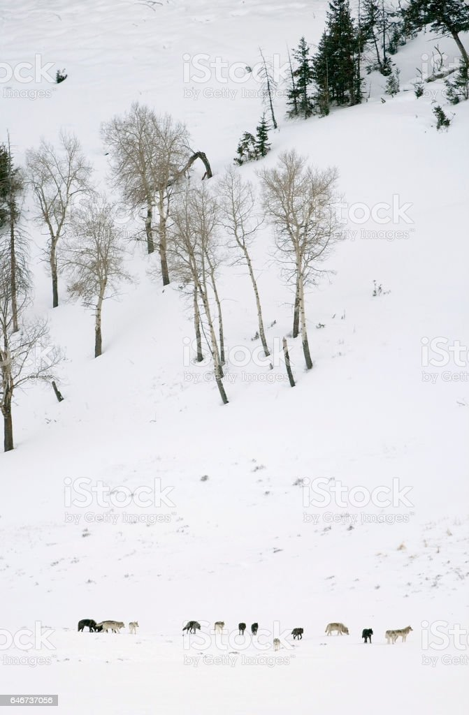 Fourteen wolves Druid pack run snowy Lamar Valley Yellowstone National Park Wyoming stock photo