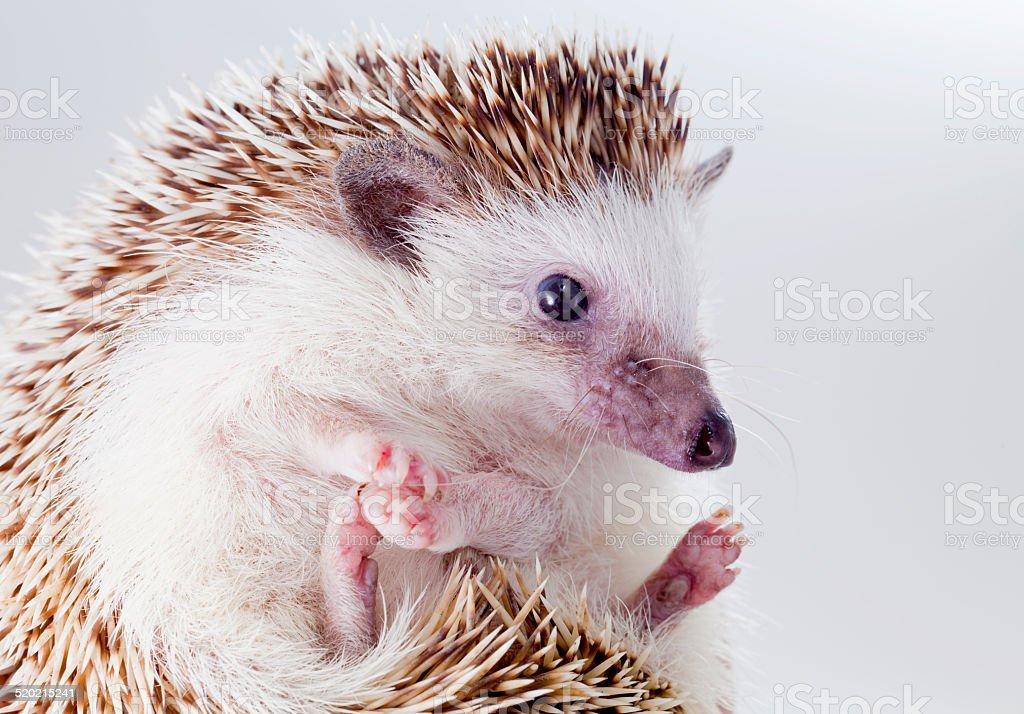 Four-toed hedgehog portait stock photo