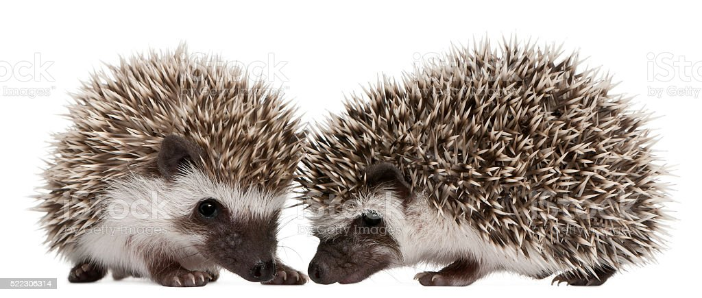Four-toed Hedgehogs, Atelerix albiventris, 3 weeks old, stock photo