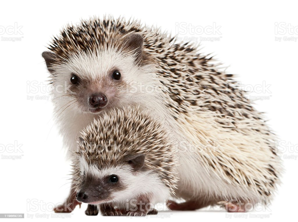 Four-toed Hedgehogs, Atelerix albiventris, 3 weeks old, white background. stock photo