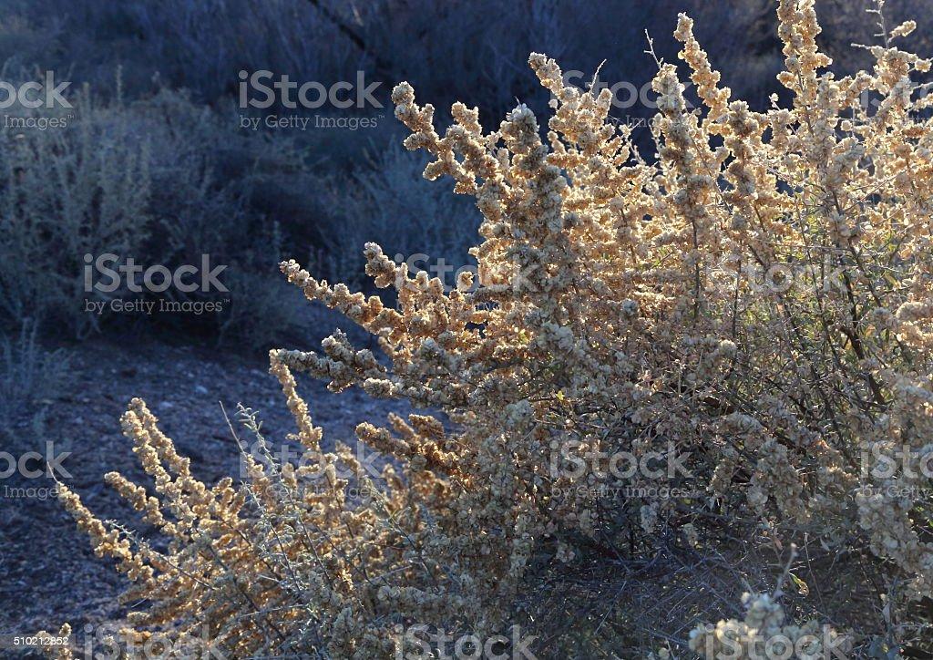 Four-wing saltbush stock photo