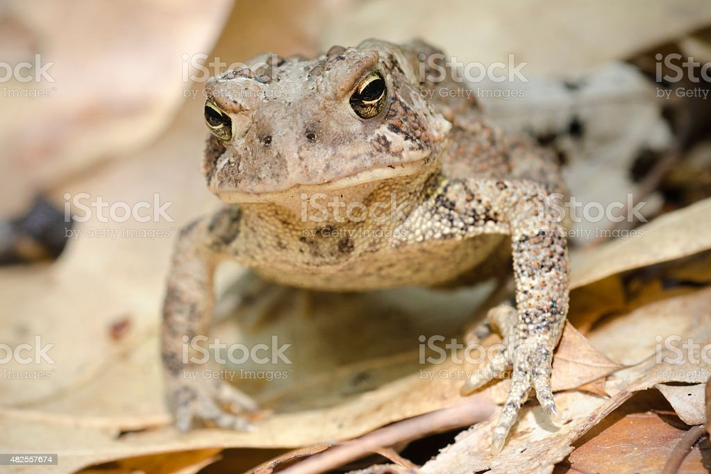 Fowler's toad, Bufo fowleri, in dry leaves stock photo
