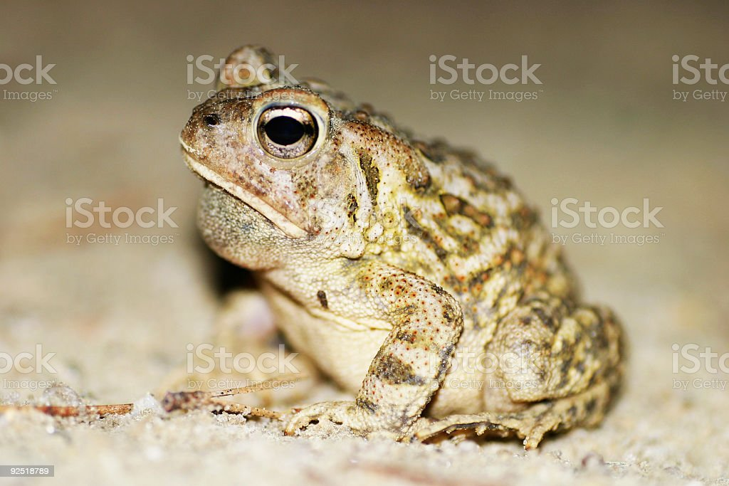 Fowler's Toad royalty-free stock photo