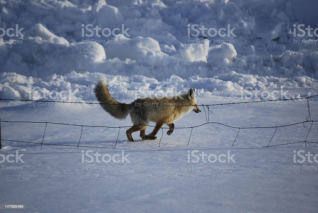 Fox along the fence hunting for food. stock photo