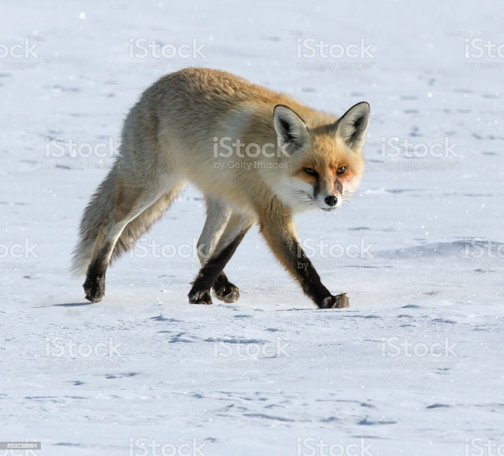 Fox at winter stock photo