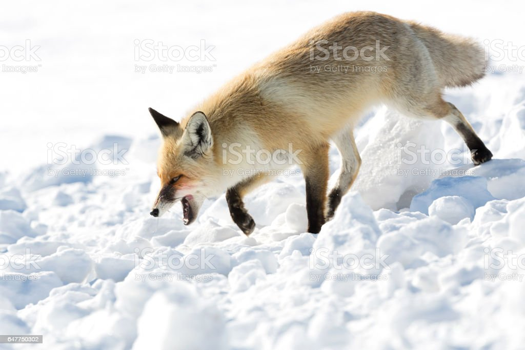 Fox at winter - preying stock photo