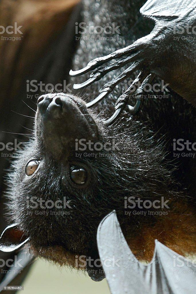 Fox Bat stock photo