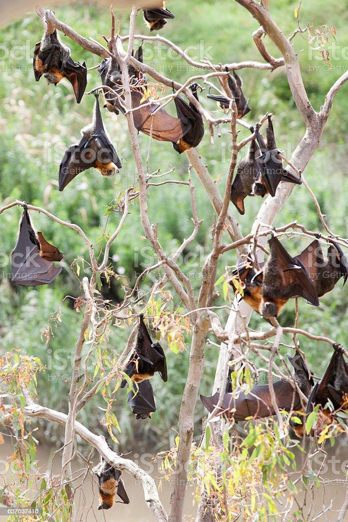 Fox bats stock photo