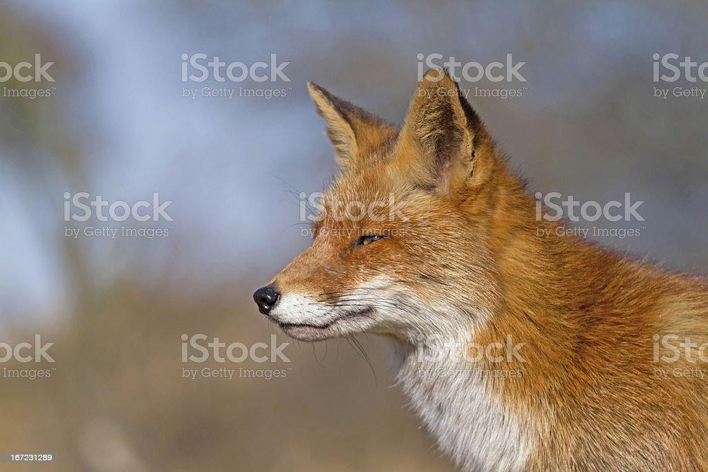 Fox close up royalty-free stock photo