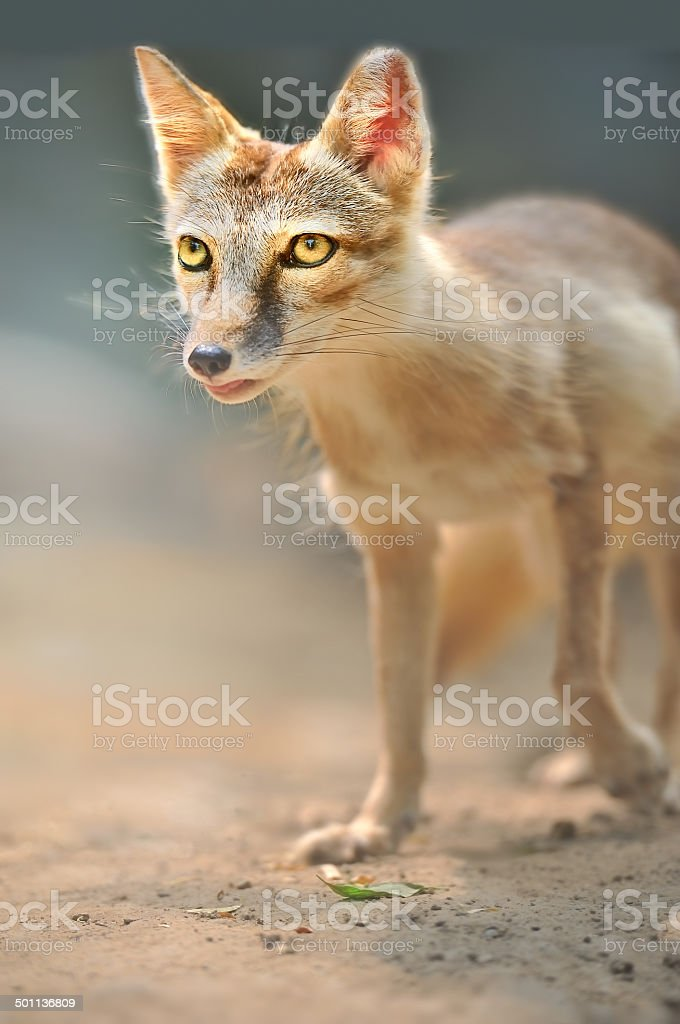 Fox, Corsac Fox, stock photo