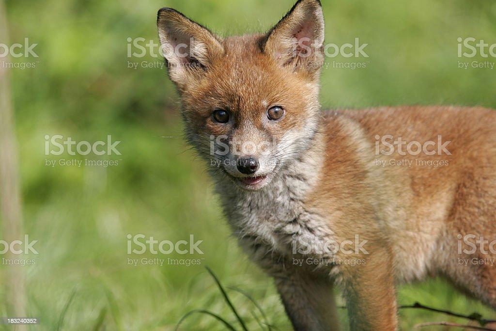 Fox cub royalty-free stock photo